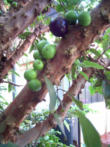 Myrtengewächse (Myrtaceae) - OHNE Eukalypten 7fad-37c-c56a