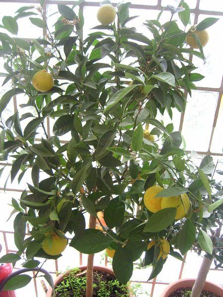 Citrus - alles über Orangen, Zitronen, Limetten, Kumquats: Aussaat, Stecklinge u.v.m. 7fad-384-806d