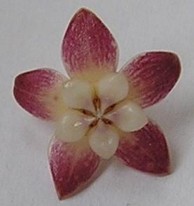 Hoya meredithii 3425 Bxk1-3l