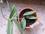 Hoya greenii Bxk1-1v