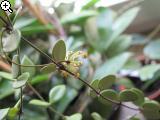 Hoya picta Bxk1-40