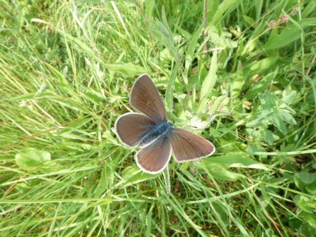 identification papillons P1020626