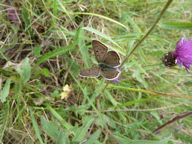 identification papillons P1020961