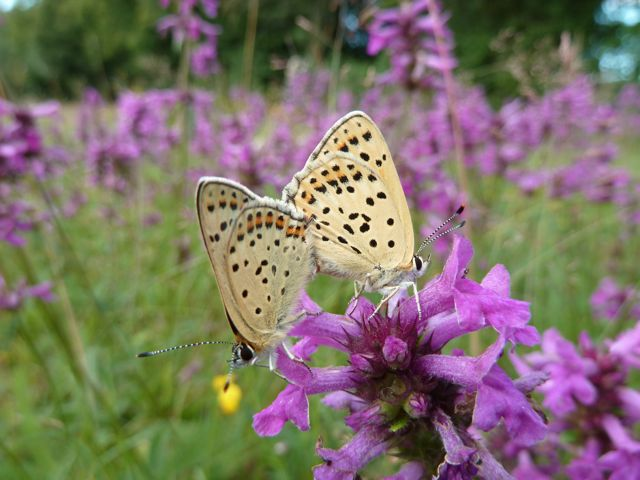 identification papillons P1030044
