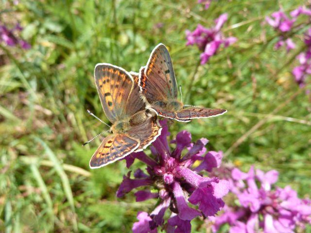identification papillons P1030053