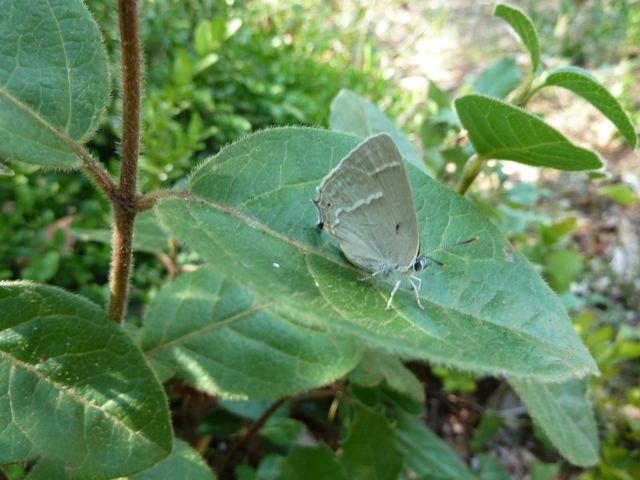 identification papillons P1030259