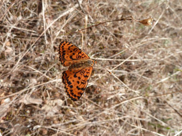 identification papillons P1030313