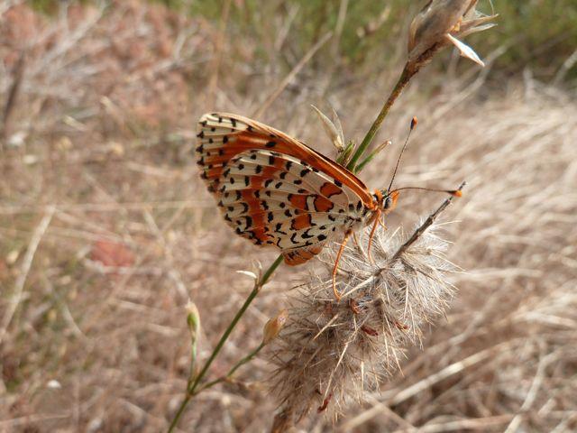 identification papillons P1030321