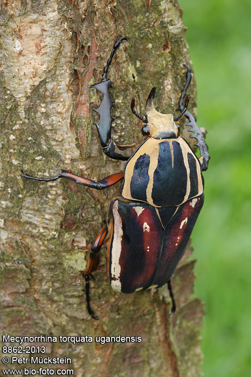 Que  suis -je  ajonc - 5  aout Mecynorrhina-ugandensis-8862-2013