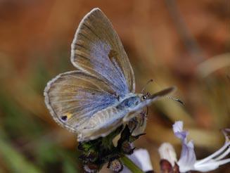 Sưu tập Bộ cánh vảy 3 - Page 40 Lepidochrysops-praeterita2