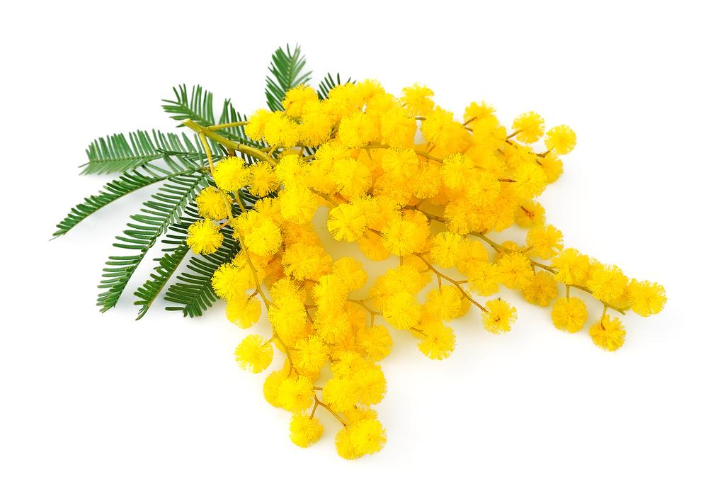 Cazzeggio!!! - Pagina 7 Coltivare-mimosa