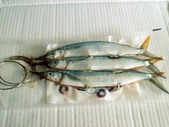 La Pesca del Pez Vela por José Manuel López Pinto / Actualizado al 9 de Febrero del 2012 Rigged-Ballyhoo