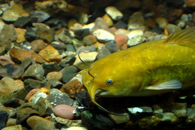 Te gustan los peces? Entra y miralos Ameiurus%20nebulosus%2000007
