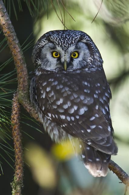 un oiseau à découvrir -ajonc- 6 janvier bravo Martine Sdl-aegolius-funereus-00001