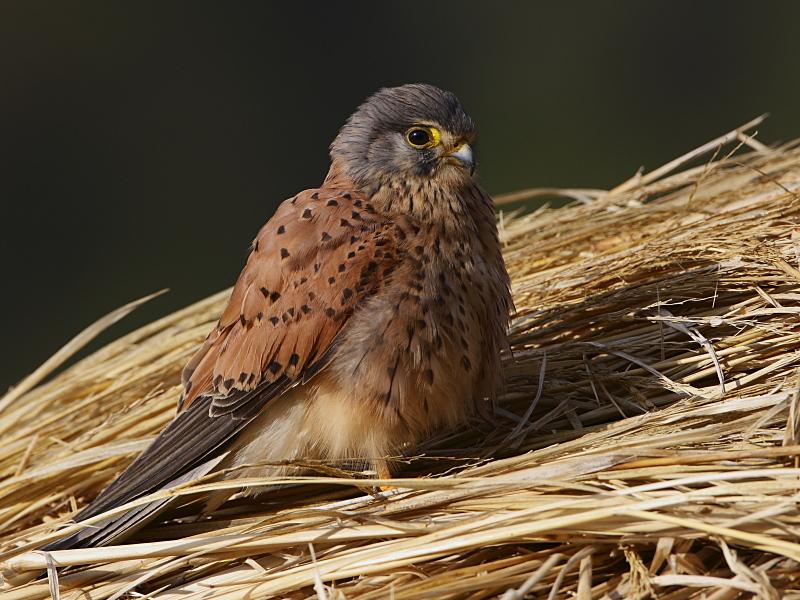 Falconiformes. sub Falconidae - sub fam Falconinae - gênero Falco - Página 3 Common_kestrel