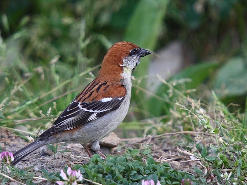Pardais do mundo - Página 2 Russet_sparrow