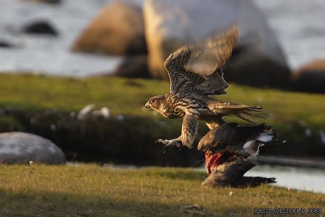 Falconiformes. sub Falconidae - sub fam Falconinae - gênero Falco - Página 3 Jaktfalk9