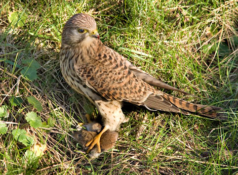 Falconiformes. sub Falconidae - sub fam Falconinae - gênero Falco - Página 3 Falk01