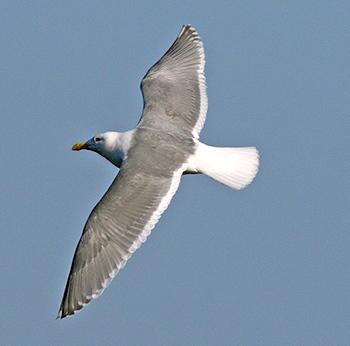 Glaucous-Winged Gull Glaucous-winged-Gull-flying_RN