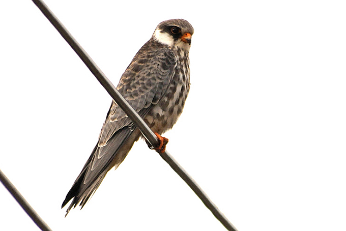 Falconiformes. sub Falconidae - sub fam Falconinae - gênero Falco Amur-Falcon_BH-2