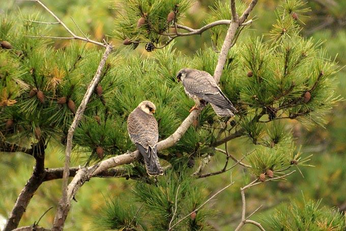 Falconiformes. sub Falconidae - sub fam Falconinae - gênero Falco Amur-Falcon_BH-3