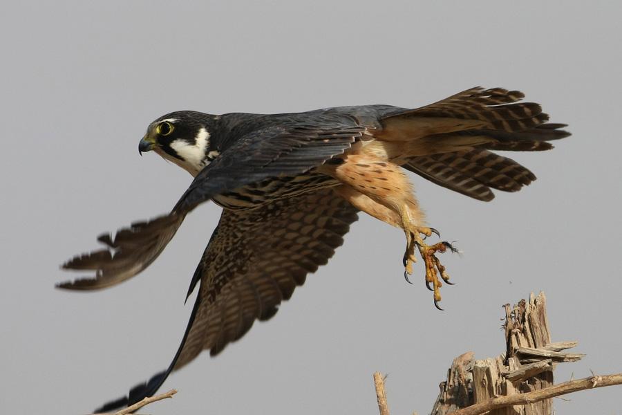 Falconiformes. sub Falconidae - sub fam Falconinae - gênero Falco - Página 3 Falsub9975