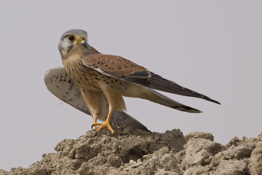 Falconiformes. sub Falconidae - sub fam Falconinae - gênero Falco - Página 3 MG_8446
