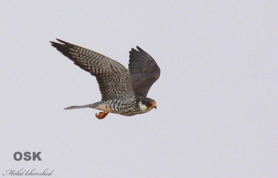 Falconiformes. sub Falconidae - sub fam Falconinae - gênero Falco Img_8719
