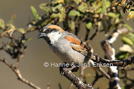 Pardais do mundo SocotraSparrow-57956