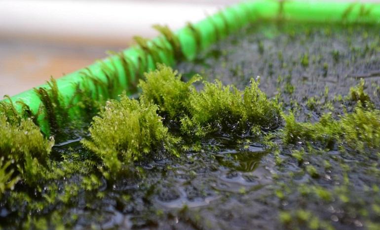 Suyu Arsenikten Arındırabilen Yosun Keşfedildi 168003_web