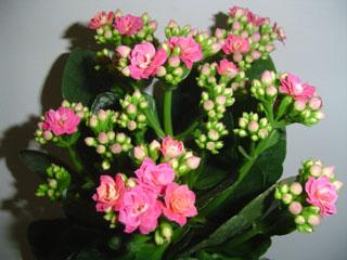 Sobne biljke KALANCHOECALENDIVA