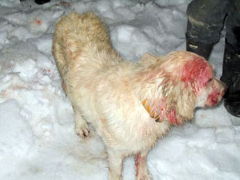 Golden Retriever Saves Boy from Cougar Hero-dog-dead-cougar-345ds010410