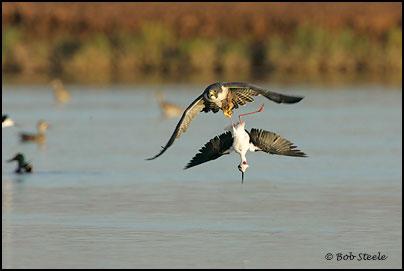 Falconiformes. sub Falconidae - sub fam Falconinae - gênero Falco - Página 2 Pefa_R2M20734