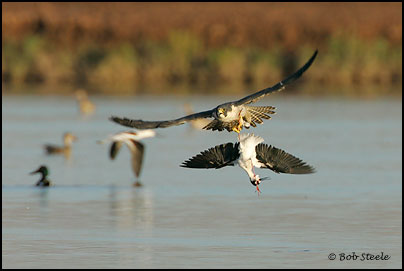 Falconiformes. sub Falconidae - sub fam Falconinae - gênero Falco - Página 2 Pefa_R2M20735