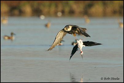 Falconiformes. sub Falconidae - sub fam Falconinae - gênero Falco - Página 2 Pefa_R2M20739