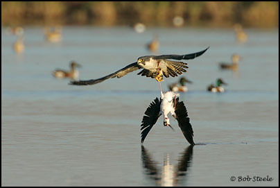 Falconiformes. sub Falconidae - sub fam Falconinae - gênero Falco - Página 2 Pefa_R2M20740