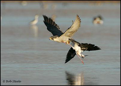 Falconiformes. sub Falconidae - sub fam Falconinae - gênero Falco - Página 2 Pefa_R2M20745