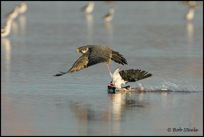 Falconiformes. sub Falconidae - sub fam Falconinae - gênero Falco - Página 2 Pefa_R2M20748