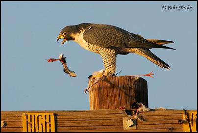 Falconiformes. sub Falconidae - sub fam Falconinae - gênero Falco - Página 2 Pefa_R2M20757
