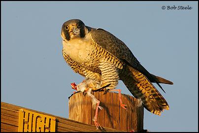 Falconiformes. sub Falconidae - sub fam Falconinae - gênero Falco - Página 2 Pefa_R2M20820