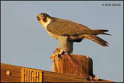Falconiformes. sub Falconidae - sub fam Falconinae - gênero Falco - Página 2 Pefa_R2M20860