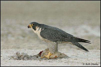 Falconiformes. sub Falconidae - sub fam Falconinae - gênero Falco - Página 2 Pefa_R2M45647