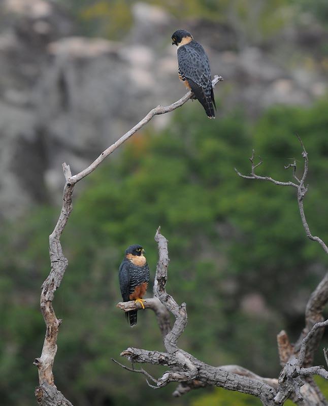 Falconiformes. sub Falconidae - sub fam Falconinae - gênero Falco - Página 2 Av-2_069