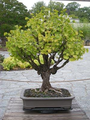 L'arbre au 40ecus 1187086941_Ginkgo