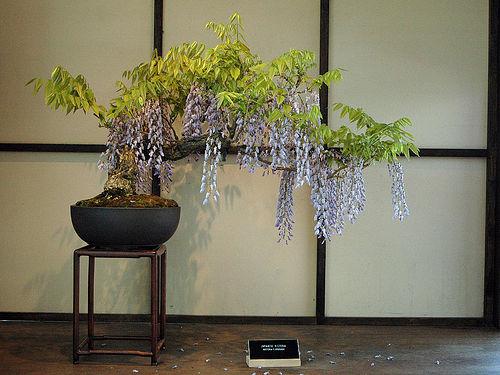 Projet: bonsaï de Glycine! 1242162047_glycine