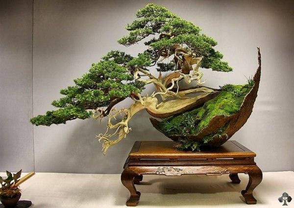Técnica de ramificación para Bonsai 01-Juniper-bonsai-reyes