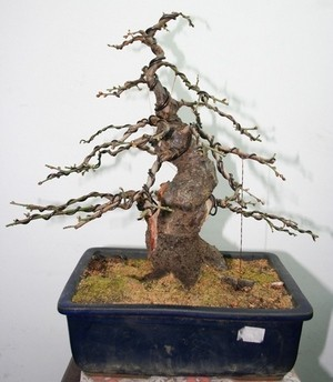 A new shohin tree UPDATE 3_IMG_1115_1