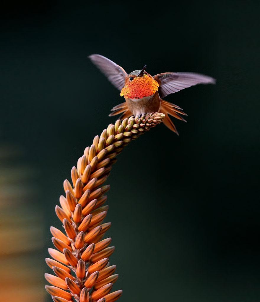 Hummingbird Cute-beautiful-hummingbird-photography-15
