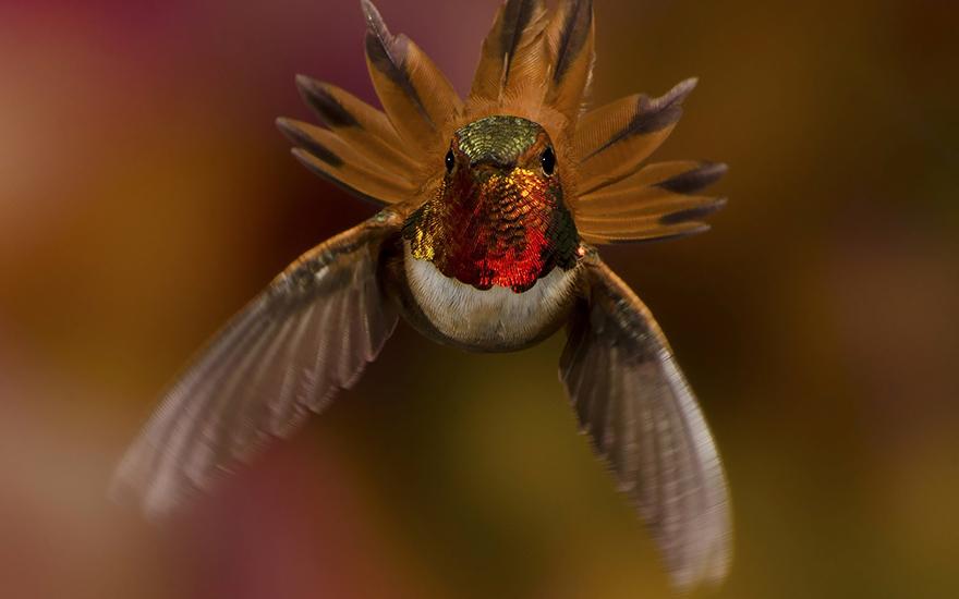 Hummingbird Cute-beautiful-hummingbird-photography-19