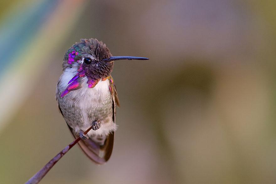 Hummingbird Cute-beautiful-hummingbird-photography-6